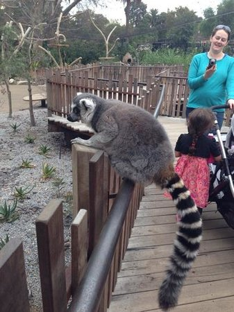Melbourne Zoo: Getting close to the lemurs