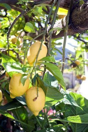 Hotel Villa Melodie: piante di limoni
