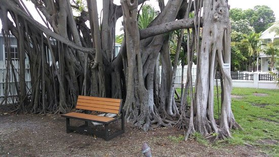 Key West Lighthouse and Keeper's Quarters Museum: Great old Bantam tree
