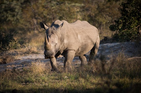 Pondoro Game Lodge: White rhino