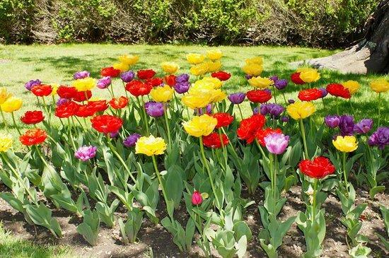 Fuller Gardens: Happy tulips greet visitors