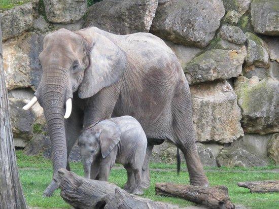 Tiergarten Schoenbrunn - Zoo Vienna : baby elephant