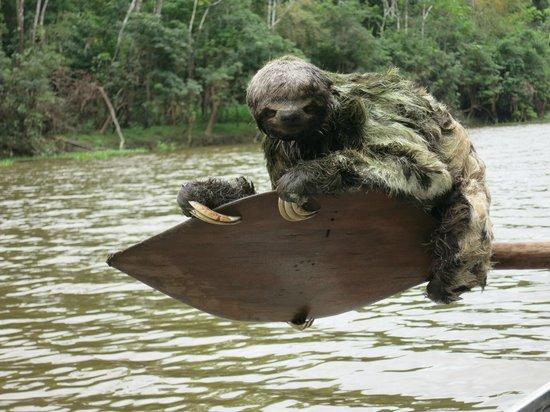 Muyuna Amazon Lodge: Suerte al encontrar un perezoso
