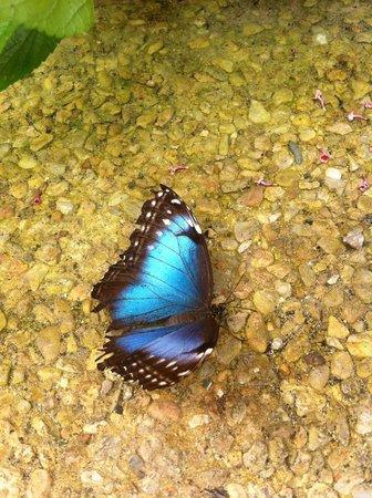 L'Ile aux Papillons : Papillon bleu