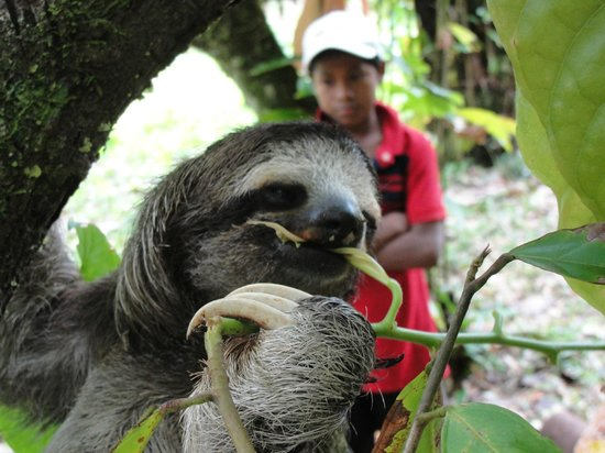 La Loma Jungle Lodge and Chocolate Farm: Sloth spotting