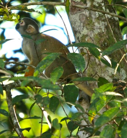 Muyuna Amazon Lodge: Squirrel monkey