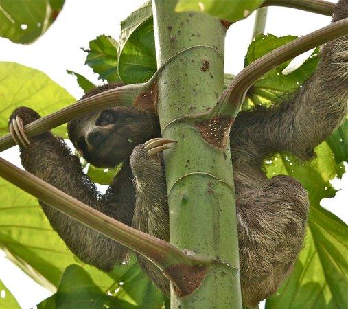 Muyuna Amazon Lodge: Sloth