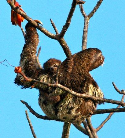 Muyuna Amazon Lodge: Sloth with her baby
