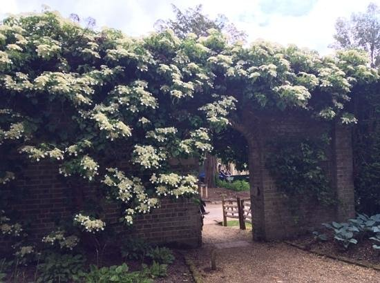 Nymans Gardens and House: Climbing hydrangea