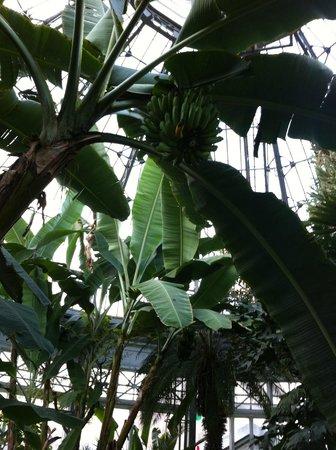 Allan Gardens Conservatory: Banana plant