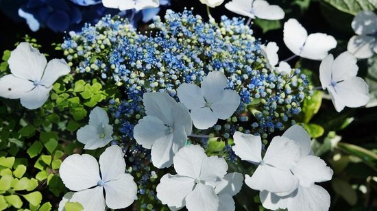 Niagara Parks Floral Showhouse: Hydrangea up close