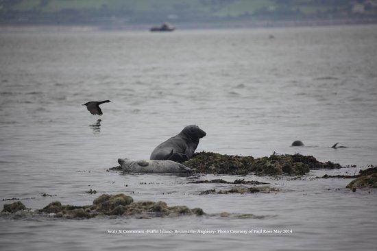 Seacoast Safaris: Cormorant and Seals Puffin Island Photo Courtesy Paul Rees