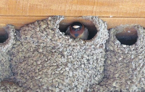 Wyndham Pagosa : Swallow nesting above our balcony