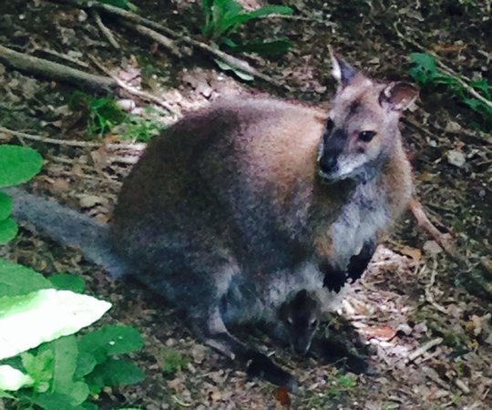 Tamar Otter and Wildlife Centre: Wallaby and very cute baby