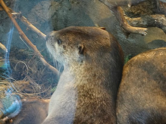 Aquarium of the Bay: otter