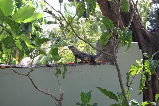 Langosta Beach Club : The local Iguana