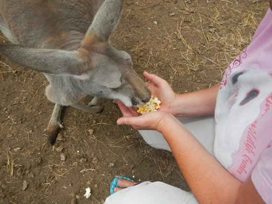 Safari Edventure : Feeding Ruby the Kangaroo