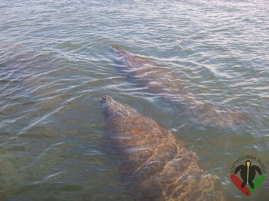 South Florida Paddle: Manatees swimming right under our paddleboards
