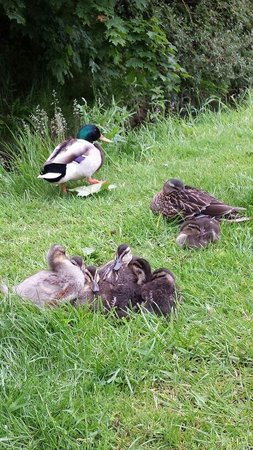 Thorpe Park Holiday Park - Haven: Ducks and ducklings around site!