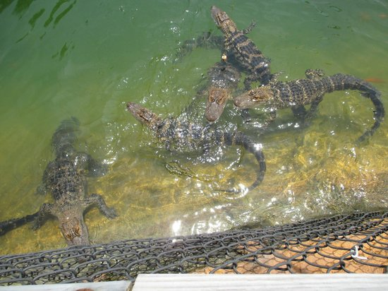 Golf-N-Gator: gators jumping for food
