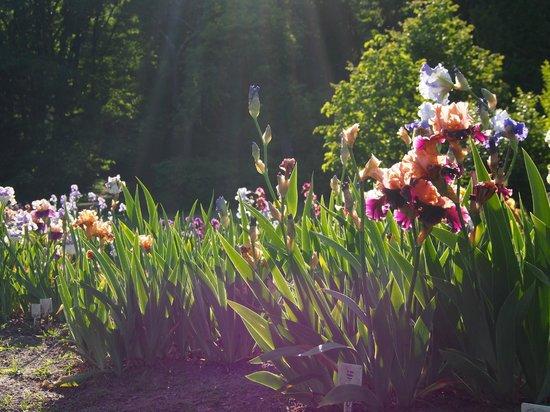 Presby Iris Gardens: Setting sun ray on blooming iris 3