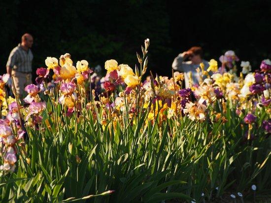 Presby Iris Gardens: Setting sun ray on blooming iris 2
