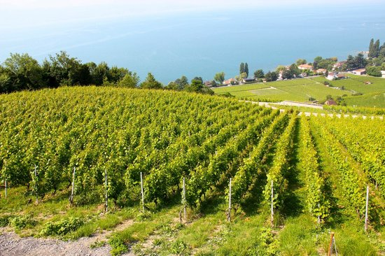 Lutry, Szwajcaria: the vineyards of Domaine du Daley