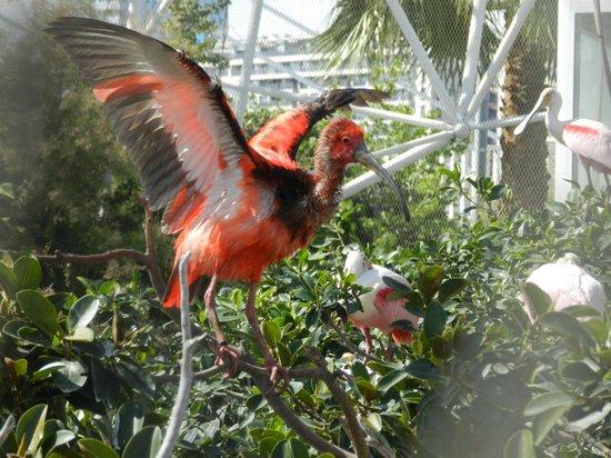 Oceanografic: Ejemplar de ibis rojo del aviario