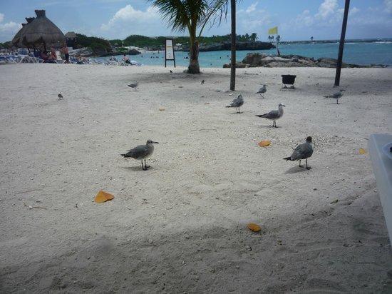 Grand Sirenis Mayan Beach Resort & Spa : birds at the beach