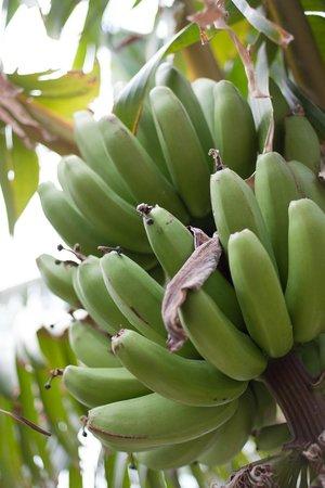 Roca Nivaria GH - Adrian Hoteles : Bananas
