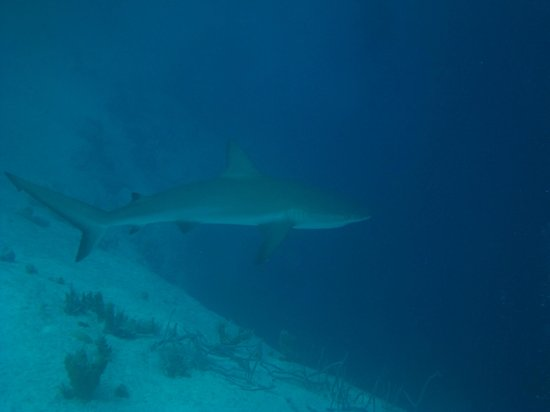 Bahama Divers : Black Tipped Reef Shark at the Blue Hole