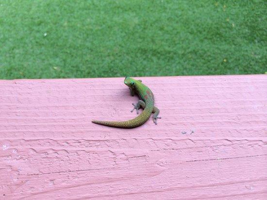 Honu Kai B&B : My gecko friend.