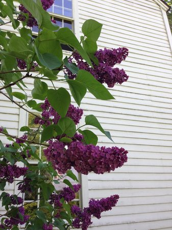The Old Inn on the Green: Fragrant lilacs outside our window (room 203)