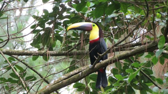 Arenal Observatory Lodge & Spa: Toucan on morning hike
