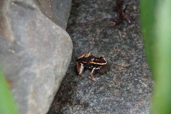 Foundation Jaguar Rescue Center : Poisonous frog