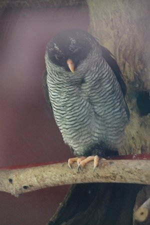 Foundation Jaguar Rescue Center : Owl