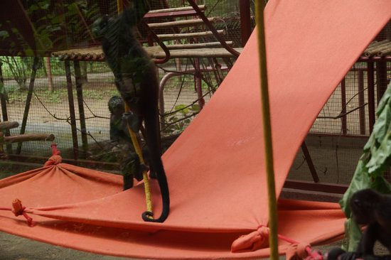 Foundation Jaguar Rescue Center : Monkeys frolicking around before release