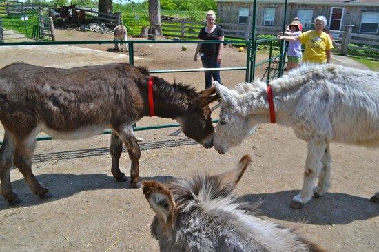 Donkey Sanctuary of Canada: Saying hello