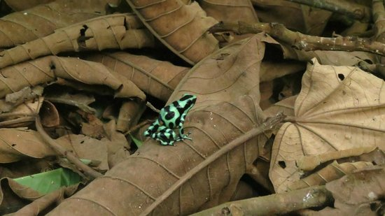 Selva Verde Lodge: Poison Dart Frog