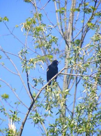 Mountsberg Conservation Area: Singing red-winged blackbird