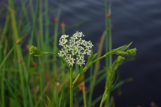 Airboat Express - Tours: Queen Anne's Lace