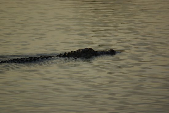 Airboat Express - Tours: gator