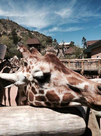 Cheyenne Mountain Zoo: A friendly petable giraffe