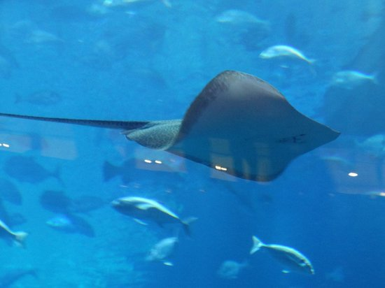 The Dubai Mall : Sting ray in the aquarium