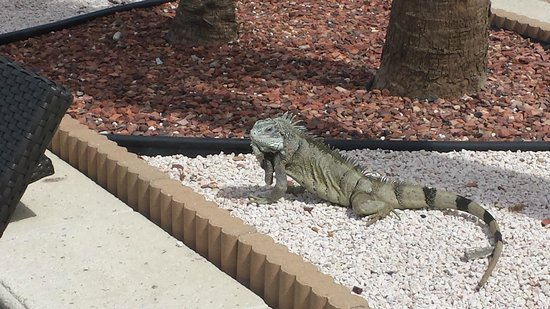 Curacao Marriott Beach Resort & Emerald Casino: The resident iguana