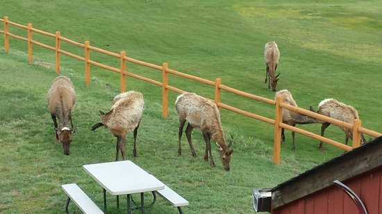 Discovery Lodge: Elk outside out door