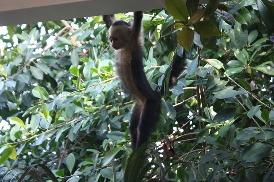 Tulemar Bungalows & Villas: The monkeys we saw playing outside the restaurant