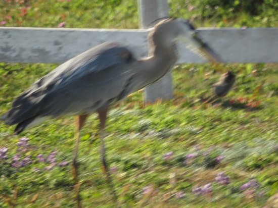 Point Arena Lighthouse: Heron eating a mole