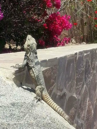 Pueblo Bonito Sunset Beach: Iguana on Resort