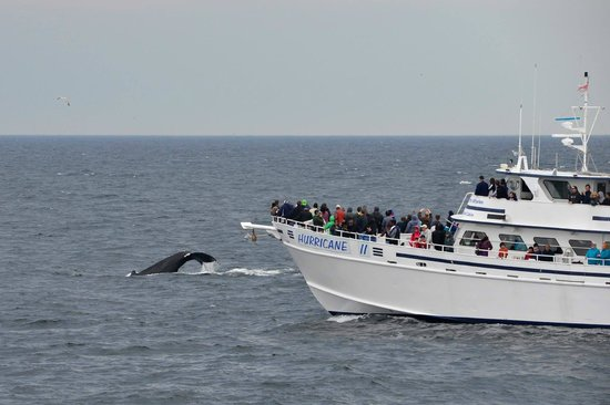 Boston Harbor Cruises : Whale dives by another vessel